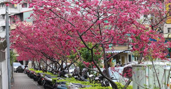 《台中.北屯》2018平昌櫻花祭-賞夜櫻還有音樂演奏、咖啡、烏龍茶品嚐