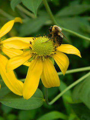 Rudbeckia laciniata Great coneflower Toronto ecological gardening by garden muses-not another Toronto gardening blog