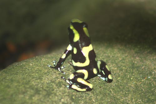 Green Black Poison Dart Frog