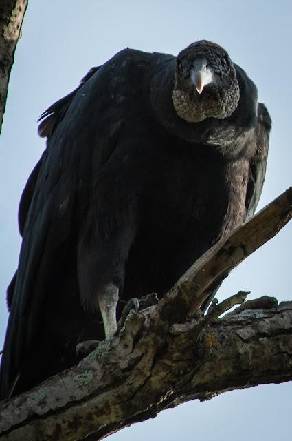 Black Vulture, LLELA