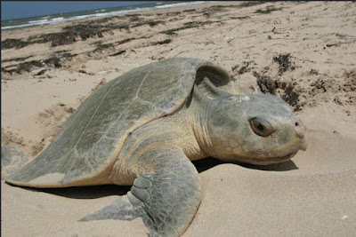 World's most endangered sea turtle species in even more trouble than thought