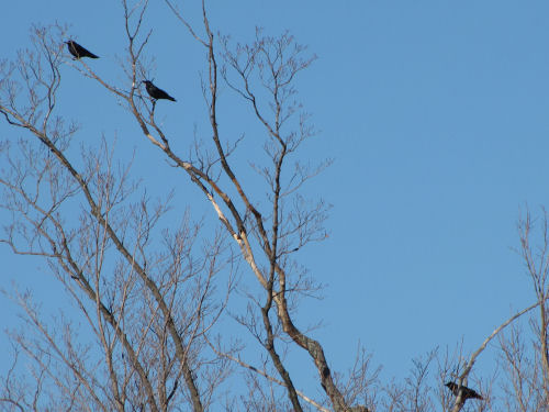 three crows in a tree