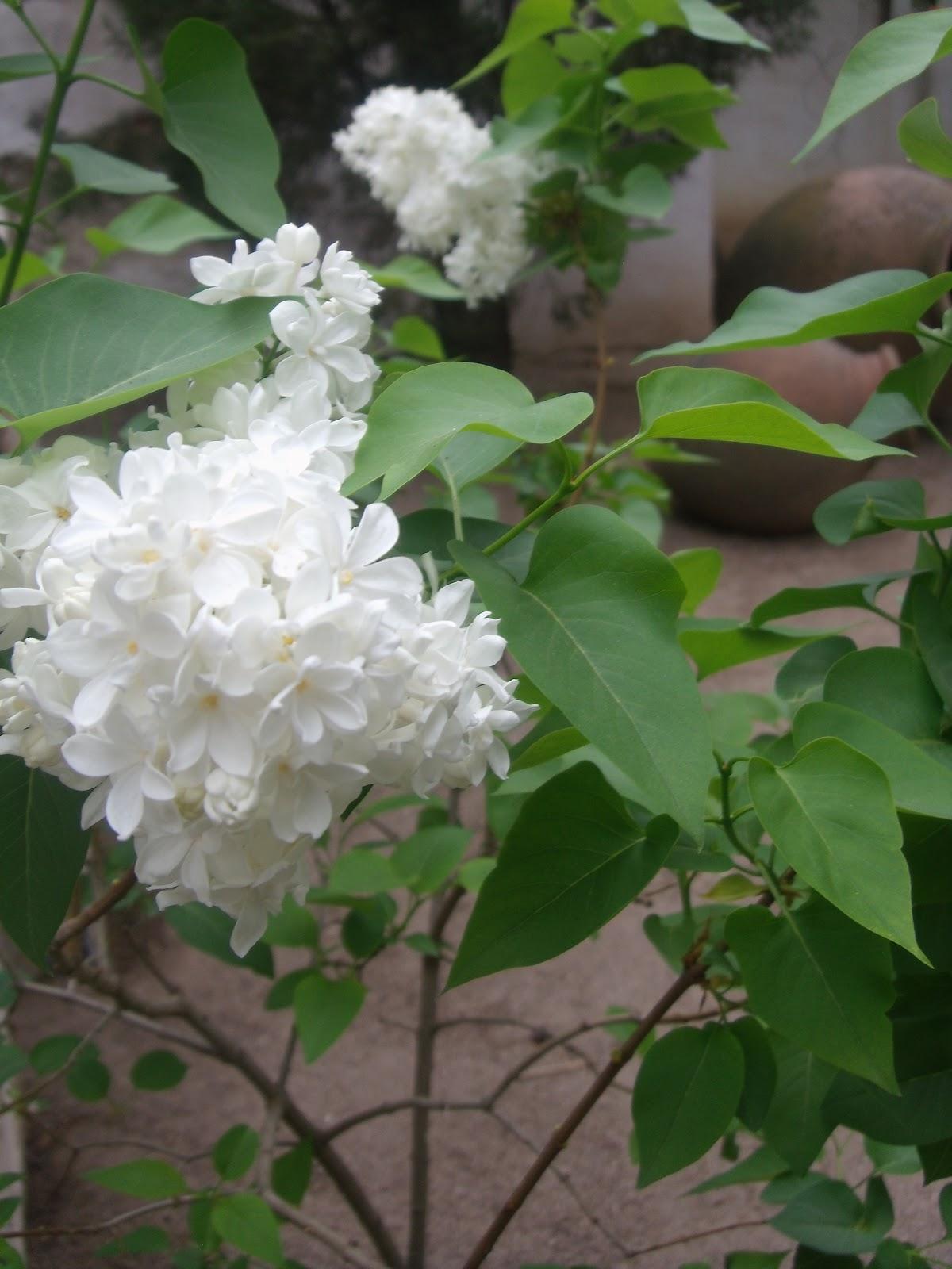 Plantas Daniel ManoVerde: Syringa vulgaris (Lilo)