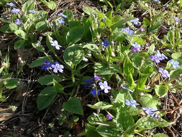 niebieskie kwiaty ułudki