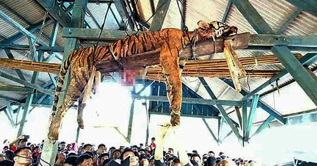 Χωρικοί ξεκοίλιασαν τίγρη υπό εξαφάνιση γιατί νόμιζαν ότι είχε υπερφυσικές ικανότητες