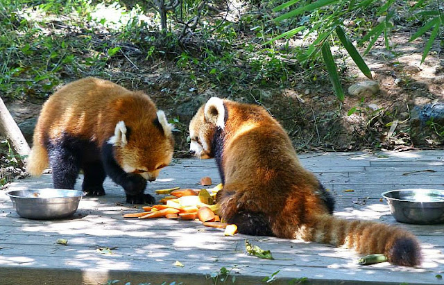 panda rosso chengdu cina