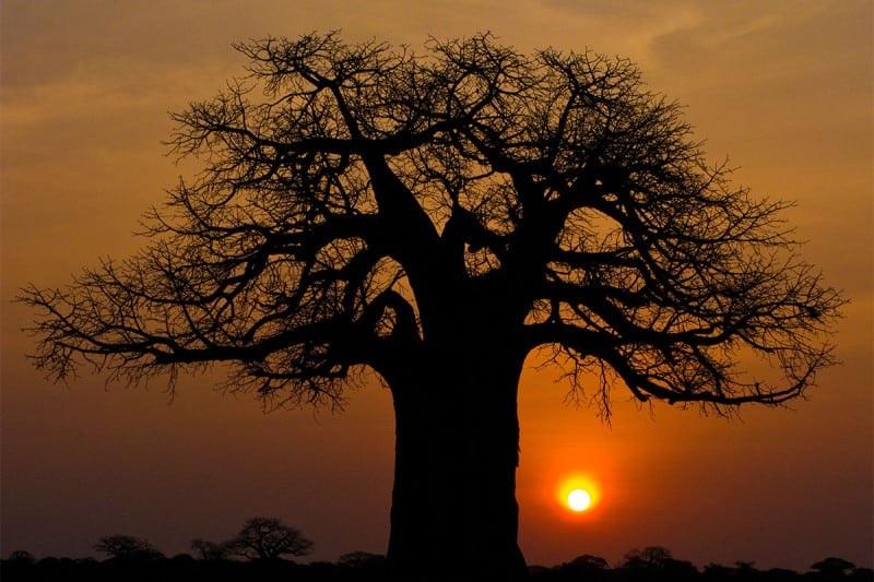 γιγαντιαία αφρικανική λεία