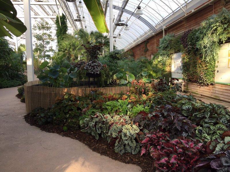 Begonias y Nelumbo nucifera. RHS Garden Wisley Flower Show 2017