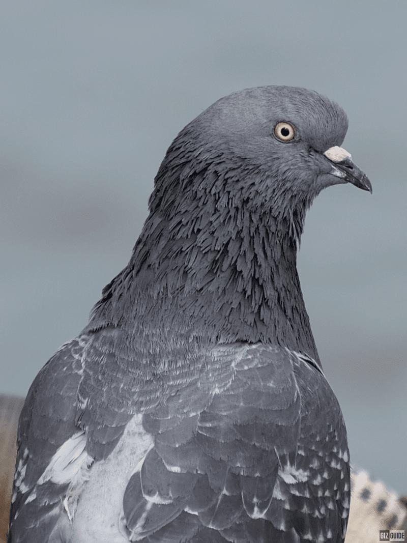 100 percent crop pigeon