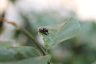 lalat, serangga, macro