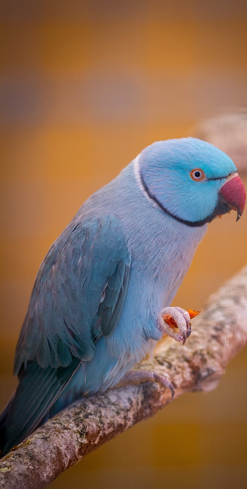 Picture of a beautiful blue parrot.