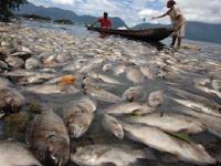 Puluhan Ton Ikan Mati di Danau Toba, Warga bingung sampai tidak mampu menguburnya