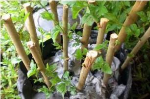 contoh pembiakan tanaman dengan stek