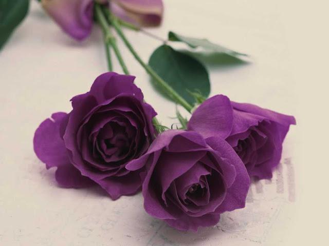 hoa hồng tím tượng trưng cho điều gì