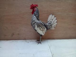 Ayam Batik Itali Dewasa Jantan