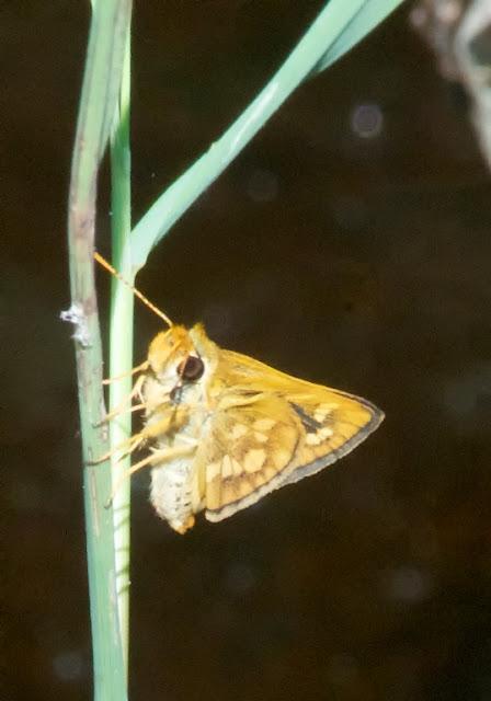 Lesser Dart (Potanthus omaha)
