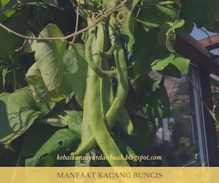 tanaman kacang buncis