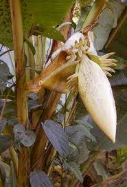 jantung pisang hutan