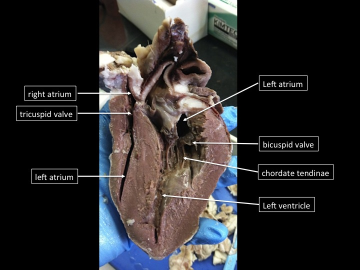 The proper steps in a fetal pig dissection