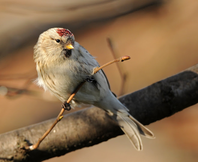 Coue's Arctic Redpoll