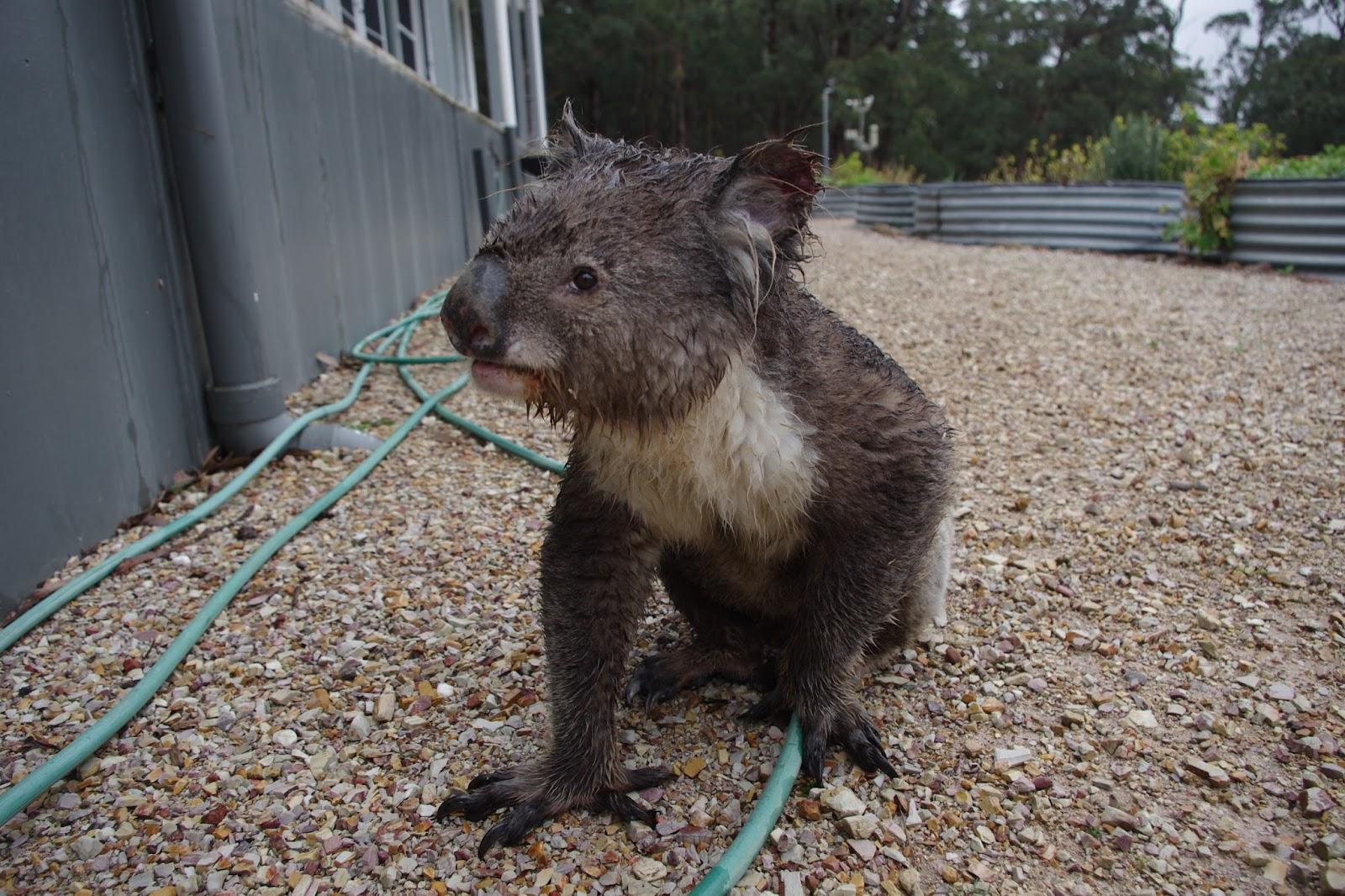Close up of the Koala visitor