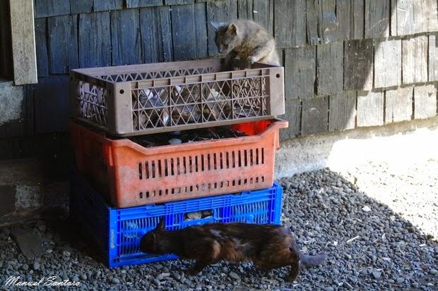 Isla Mechuque, gatti affamati