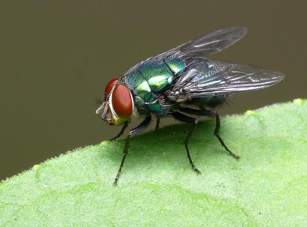 toque mp3 mosca varejeira som