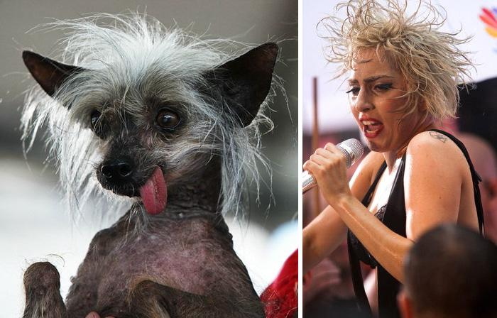 Um pequeno cão que parece Lady Gaga