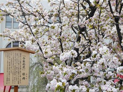大阪造幣局 桜の通り抜け 今年の花「牡丹」