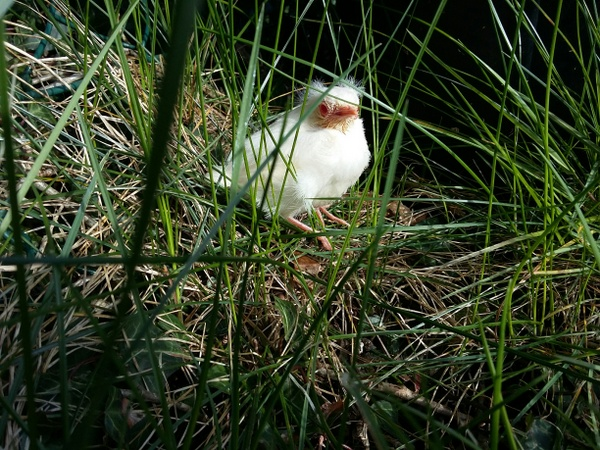 The whiteBlackbird of Hatherleigh. Photo: copyright  Jo Pullin (All rights reserved)