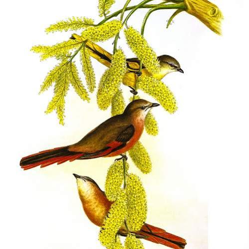 Pericrocotus roseus