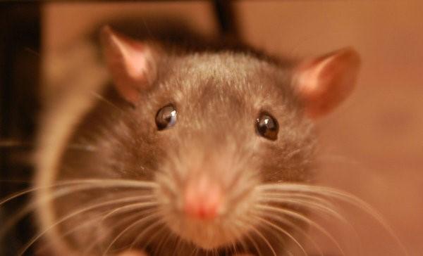 Cara Membasmi Tikus dengan Bensin