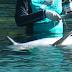 """PARADÓJICO: Explotadores de delfines analizarán """"aspectos filosóficos"""" del bienestar de estas especies marinas"""