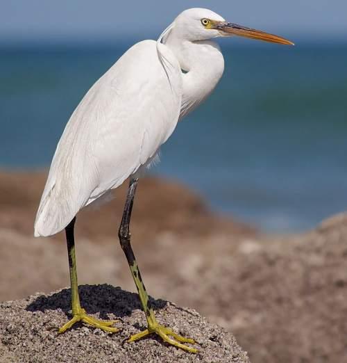 Western reef heron - Egretta gularis