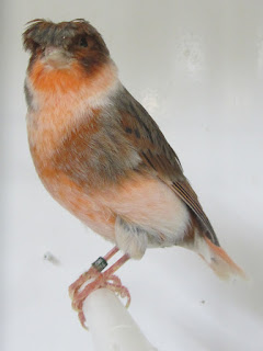 Jual Crested Canary