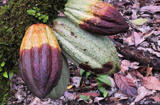 Ratusan Hektar Tanaman Kakao Diserang Penyakit, Petani di Abdya Mengeluh