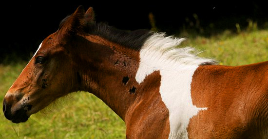 O cavalo que nasceu com outro cavalo nas costas