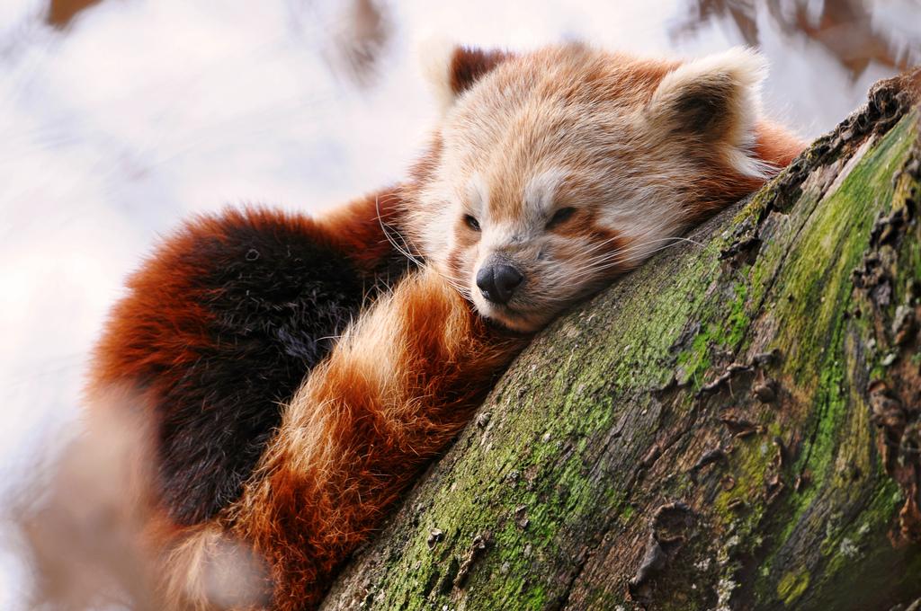 cute baby red pandas - photo #16
