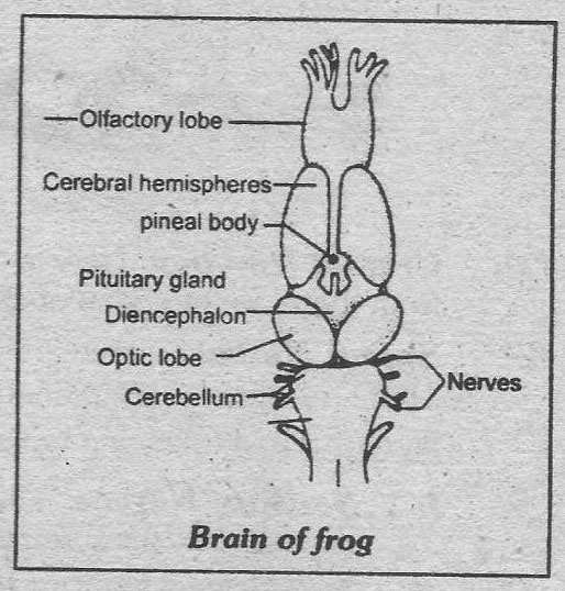 Notes Guide Book: Explain the nervous system of frog.