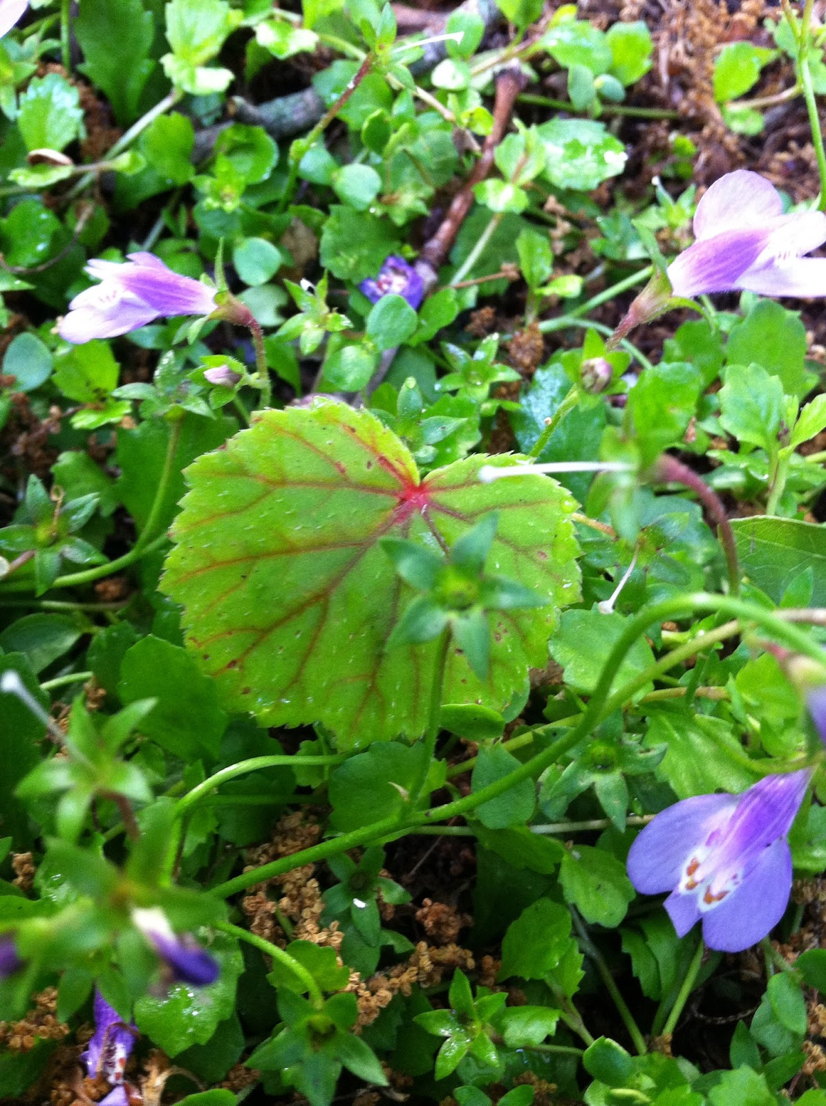 a charlotte garden plant of the day hardy begonia
