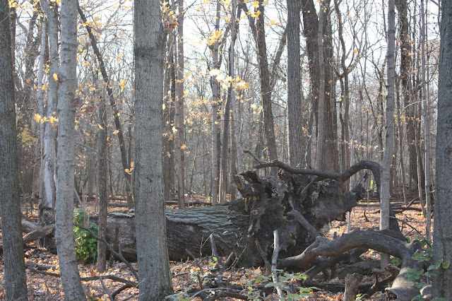 Trees standing and fallen create nature art in Busse Woods.