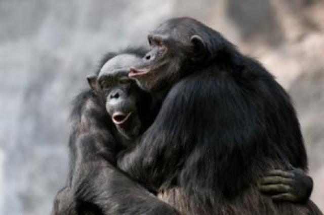 Like chimpanzees, humans may console victims of aggression out of empathy