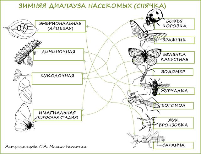 задание-о-спячке-насекомых-диапауза