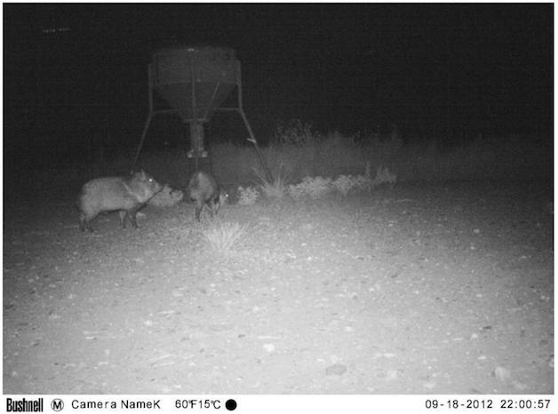 UFO Probe Seen Flying Over Wild Pigs In Texas On Animal Cam Screen%2BShot%2B2018-10-23%2Bat%2B4.50.16%2BPM