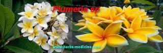 Gonorrhea use Plumeria