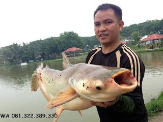 Master Umpan Ikan Patin Galatama