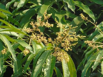 Infiorescenza Fioritura Mango