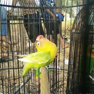 cara lovebird nagen (tancep) di tangkringan
