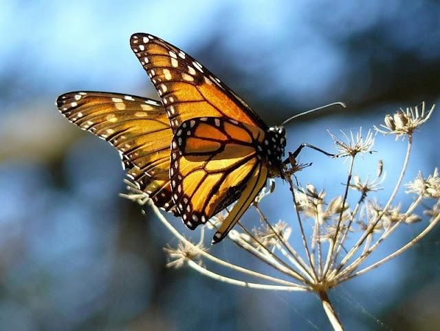 Monarch Butterflies sucking honey from flowers at Pismo Beach