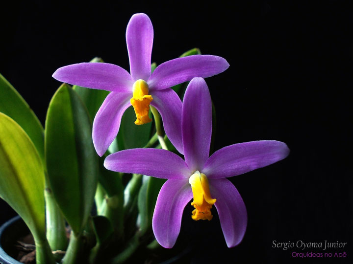 Orquídea Laelia longipes